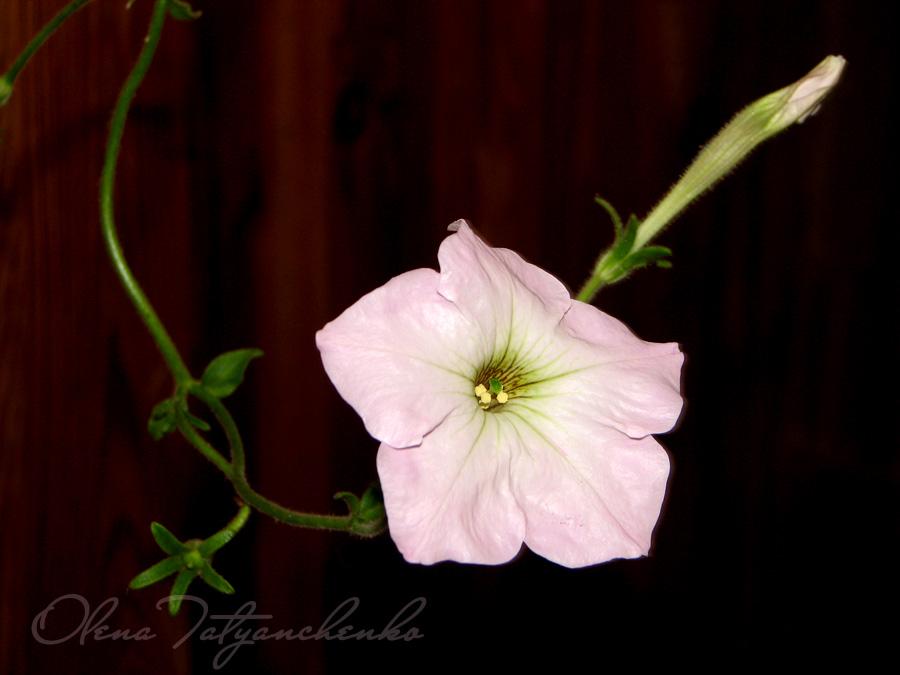 Петунія. Квіткова радість.
