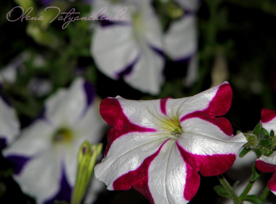 Різнокольорові петунії. Квіткова радість.