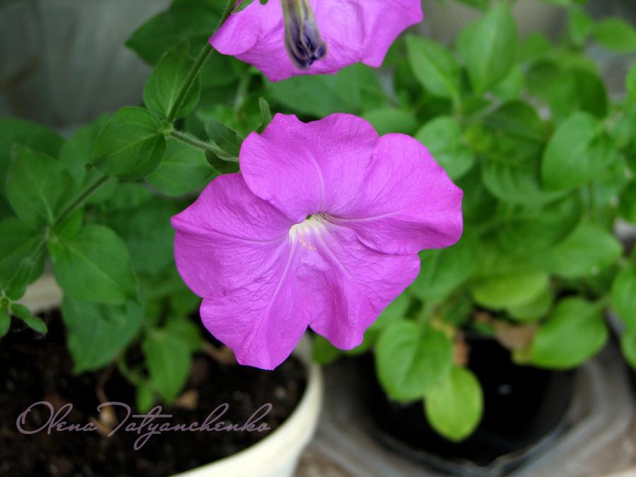 Квіти петунії. Квіткова радість. Блог Олени Татьянченко.
