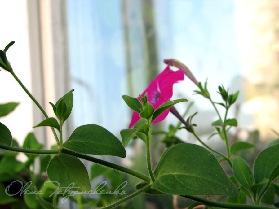 Світлина петунії. Квіткова радість.